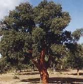 La clonación forestal permite que árboles centenarios vuelvan a nacer
