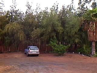 Repoblacion forestal en la península de Gando