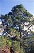 Los árboles singulares de Canarias gozarán de protección
