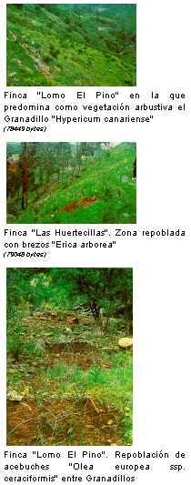 En 1995 se reforestaron en Gran Canaria 56 hectáreas de fincas agrarias abandonadas