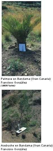 El bosque termófilo en Gran Canaria
