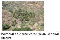 La Palmera Canaria (Phoenix canariensis): diversidad Genética e Hibridación