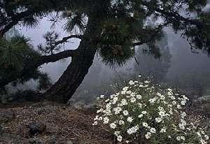 Pino, el árbol maltratado